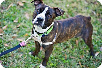 Boxer/English Bulldog Mix Dog for adoption in Houston, Texas - Scarlett