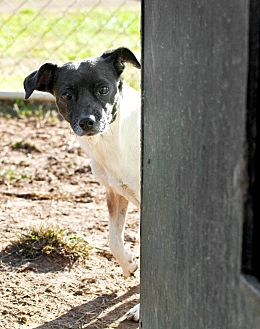 Rat Terrier Mix Dog for adoption in Tanner, Alabama - Nettie
