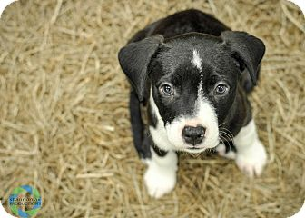 Bulldog Mix Puppy for adoption in Gainesville, Florida - Ginny Weasley