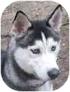 Husky Puppy for adoption in Eatontown, New Jersey - cody