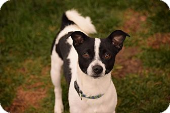 Jack Russell Terrier Mix Dog for adoption in Meridian, Idaho - Bosco