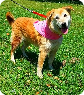 Golden Retriever Mix Dog for adoption in Simsbury, Connecticut - Marla - ADOPTION PENDING