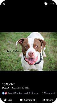 American Pit Bull Terrier/Boxer Mix Dog for adoption in Zanesville, Ohio - Calvin @ Animal Shelter