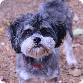 Lhasa Apso Mix Dog for adoption in O Fallon, Illinois - BooBoo