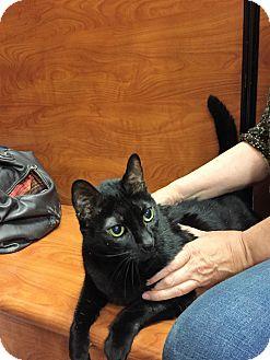 Domestic Shorthair Cat for adoption in Cranford/Rartian, New Jersey - Honey