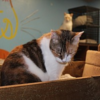 Calico Cat for adoption in Jackson, Mississippi - Callie