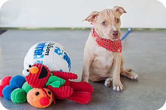 Labrador Retriever/Staffordshire Bull Terrier Mix Puppy for adoption in Victoria, British Columbia - Sugar