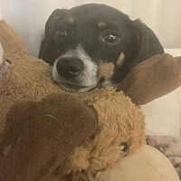 Adopt A Pet :: Little Toby-URGENT - Los Angeles, CA