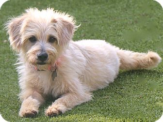 Cairn Terrier/Poodle (Miniature) Mix Dog for adoption in Woonsocket, Rhode Island - Liberty