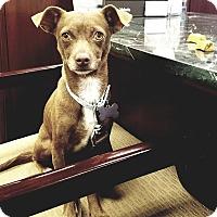 Adopt A Pet :: Morena - Las Vegas, NV