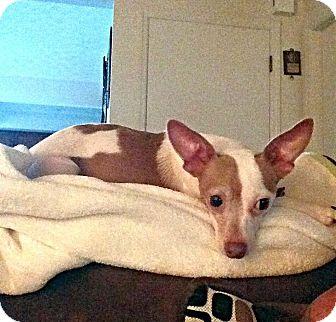 Chihuahua Mix Dog for adoption in Columbus, Ohio - Kandey