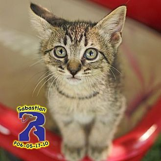 Domestic Shorthair Kitten for adoption in ROWLETT, Texas - Bubblegum