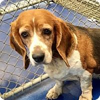 Adopt A Pet :: Tri Color Basset/Beagle mix - New Kent, VA