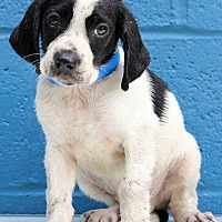 Basset Hound/Labrador Retriever Mix Puppy for adoption in Waldorf, Maryland - Lawrence