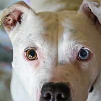 Adopt A Pet :: Blanca - Vallejo, CA