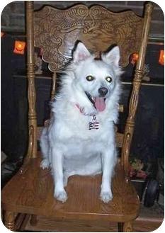 Eskimo Spitz Dog for adoption in Charlottesville, Virginia - Max