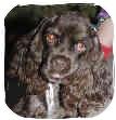 Cocker Spaniel Dog for adoption in San Diego, California - Drake