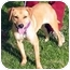 Photo 1 - Beagle/Labrador Retriever Mix Dog for adoption in San Pedro, California - Blondie