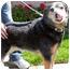 Photo 4 - Australian Cattle Dog Dog for adoption in Berkeley, California - Stanley