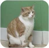 Domestic Shorthair Cat for adoption in Okotoks, Alberta - Livingston