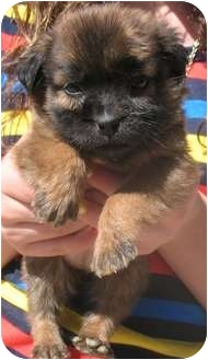 Chow Chow/Shepherd (Unknown Type) Mix Puppy for adoption in Corona, California - TEDDY BEAR PUPS D