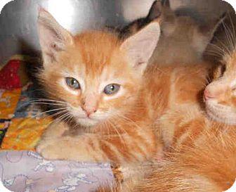 Domestic Shorthair Kitten for adoption in Yuba City, California - 9/22 Orange Tabby Boy