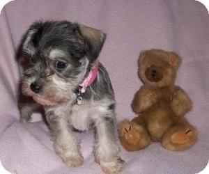 Schnauzer (Miniature) Mix Puppy for adoption in North Benton, Ohio - Suzie