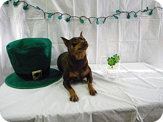 Miniature Pinscher Dog for adoption in River Falls, Wisconsin - Rusty