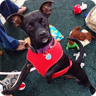 Chihuahua/Miniature Pinscher Mix Dog for adoption in San Diego, California - Louie