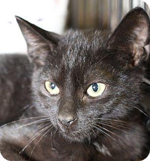 Domestic Shorthair Kitten for adoption in Winston-Salem, North Carolina - Onyx