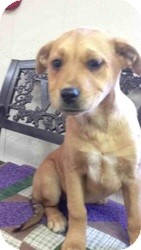 Cattle Dog Mix Puppy for adoption in East Hartford, Connecticut - Gypsy ADOPTION PENDING