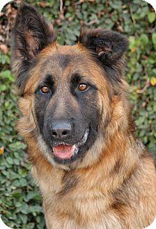 German Shepherd Dog Mix Puppy for adoption in Los Angeles, California - Leyna von Lucka