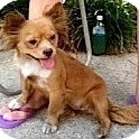 Adopt A Pet :: Muffin - Kingwood, TX