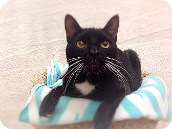 Domestic Shorthair Cat for adoption in Foothill Ranch, California - Gerry