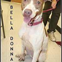 German Pinscher/Pit Bull Terrier Mix Dog for adoption in Houston, Texas - Bella Donna