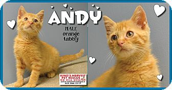 Domestic Shorthair Kitten for adoption in Davenport, Iowa - Andy