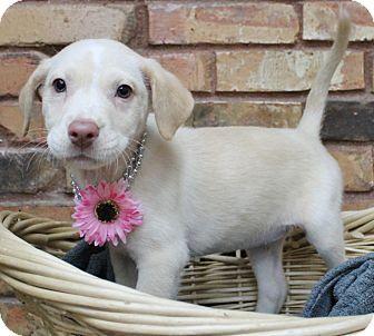 Australian Shepherd Mix Puppy for adoption in Benbrook, Texas - Sadie