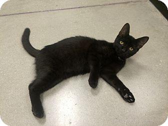 Domestic Shorthair Kitten for adoption in Tampa, Florida - Cajun