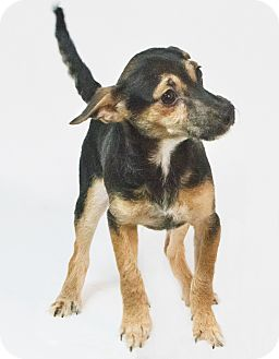 Chihuahua/Wirehaired Fox Terrier Mix Puppy for adoption in Yelm, Washington - Porter
