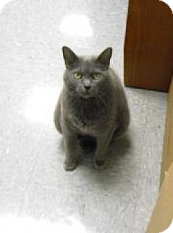 Domestic Shorthair Cat for adoption in Mount Royal, New Jersey - Dusty (sweet lady)