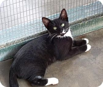 Domestic Shorthair Kitten for adoption in Lathrop, California - Amos