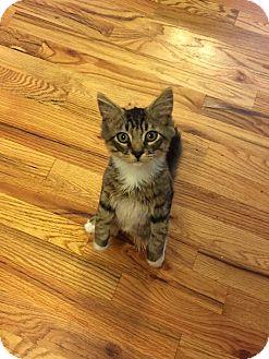 Domestic Mediumhair Kitten for adoption in Media, Pennsylvania - Josh (Musician Kittens)