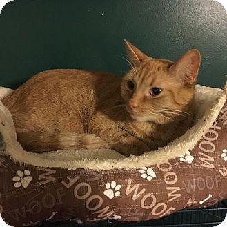 Domestic Shorthair Cat for adoption in Burlington, North Carolina - Taylor