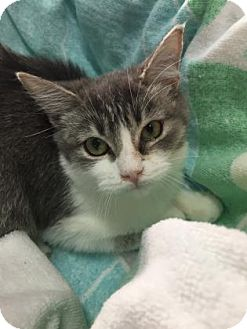 Domestic Shorthair Kitten for adoption in Fountain Hills, Arizona - HEATHER