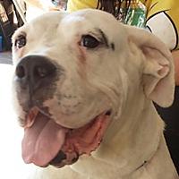 Adopt A Pet :: Bella Bunny (PRA) - Porter Ranch, CA