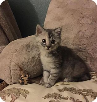 Domestic Shorthair Kitten for adoption in Oxnard, California - Baby Kitty