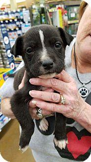 Terrier (Unknown Type, Medium) Mix Puppy for adoption in ST LOUIS, Missouri - Gordy