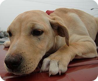 Labrador Retriever Mix Puppy for adoption in Huntsville, Alabama - Daisy