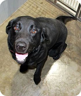 Labrador Retriever Dog for adoption in New Canaan, Connecticut - Kasia