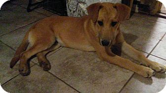 Labrador Retriever/Shepherd (Unknown Type) Mix Puppy for adoption in Arlington, Texas - Ryan